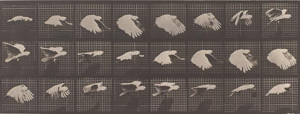 Edward Muybridge-Perroquet volant